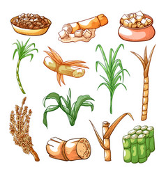Sugar sweet cane farming and industry hand drawn vector