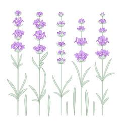 set of lavender flowers elements vector image vector image
