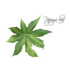 Papaya leaf vector