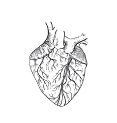 hand drawn anatomic human heart vector image