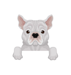 adorable french bulldog peeking out from border vector image