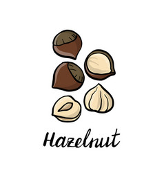 Drawing hazelnuts vector