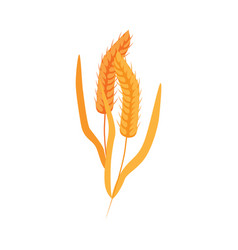 ripe dry wheat ears with grains on stalk in flat vector image