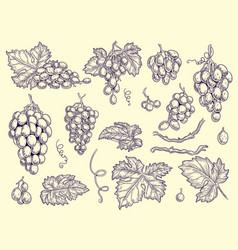 grapes set vineyard collection wine grapes and vector image