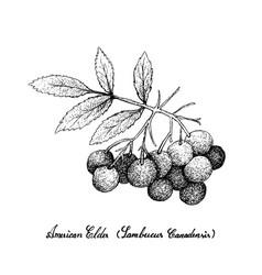 Hand drawn of american elder fruits on white backg vector