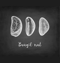 Chalk sketch of brazil nut vector