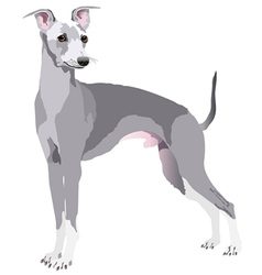 greyhound dog vector image