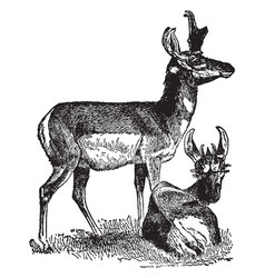 Prong horn antelope vintage vector