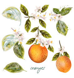 Set blooming oranges with fruits and flowers vector