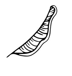 Single hand drawn exotic tropical leaf banana in vector