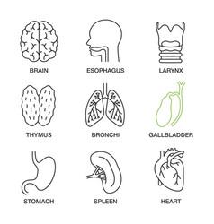 Internal organs linear icons set vector
