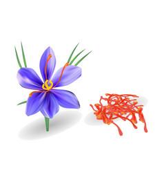 Saffron with flower on white vector