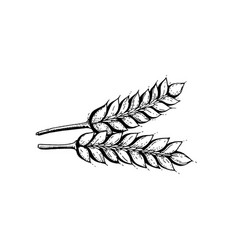 hand draw wheat ears vector image