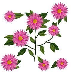 chrysanthemum flower plant in white background vector image