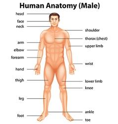 Human body parts vector