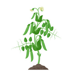 pea plant with ripe pea pods and flowers growing vector image