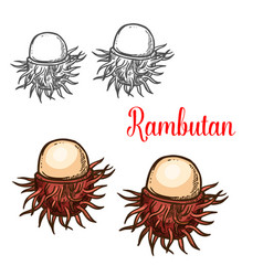 Rambutan tropical fruit sketch of asian berry vector