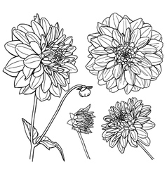 Dahlia flower set Line art vector