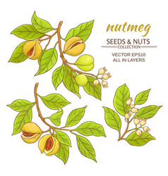 nutmeg set vector image