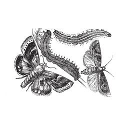 Owlet moth vintage engraving vector