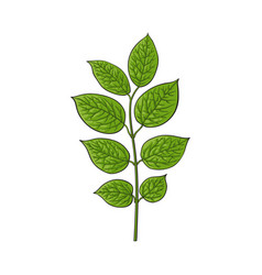 Beautiful hand drawn honeysuckle leaves twig vector