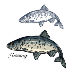 Herring fish isolated sketch icon vector