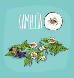 set of isolated plant camellia flowers herb vector image