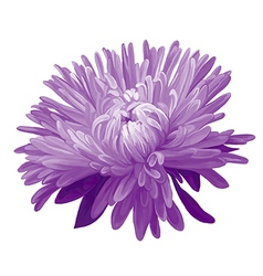 Purple Aster vector image