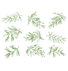 olive branches green greek olives tree branch vector image