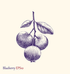 Blueberry hand drawing vector