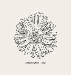 Chrysanthemum flower sketch vector