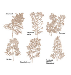 set medical herbs amaranth shepherds purse vector image