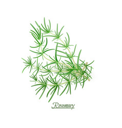 Sprigs fresh delicious rosemary in realistic vector