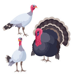 Turkeys on white background vector image
