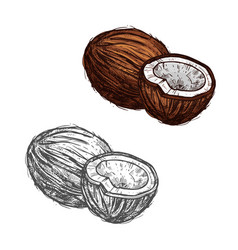 Coconut fruit of tropical palm sketch food design vector