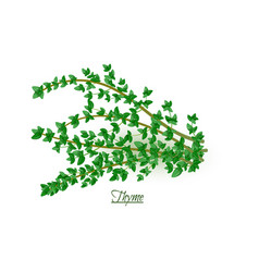 Sprigs of fresh delicious thyme in realistic style vector