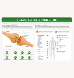 Human cbd receptor chart horizontal textbook vector