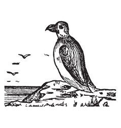 Puffin vintage vector