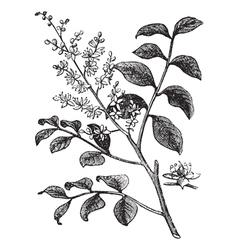 Diesel Tree vintage engraving vector image