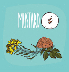 Set of isolated plant mustard seeds herb vector