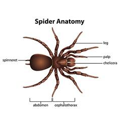 Spider anatomy vector