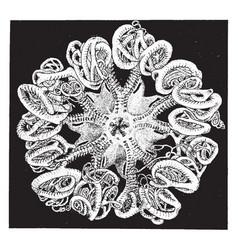 basket star vintage vector image