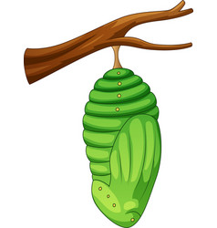Cartoon pupa of the butterfly vector