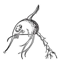 Metamorphosis of a crab vintage vector