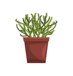 Asparagus indoor house plant in brown pot element vector