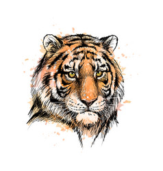 Portrait a tiger head from a splash vector