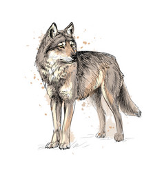 portrait a wolf from a splash watercolor vector image