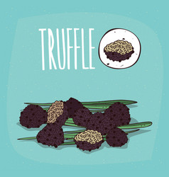 Set of isolated plant truffle mushrooms herb vector