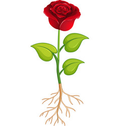 Red rose flower with green leaves and roots vector