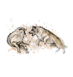 wolf fight from a splash watercolor hand drawn vector image